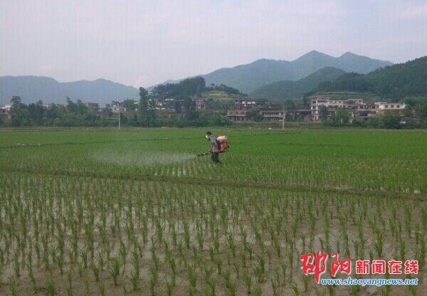 隆回县西洋江镇水稻病虫害专业化防治高效惠农